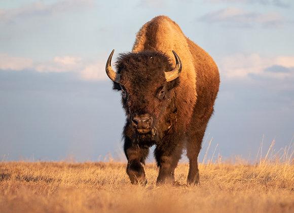 Golden Bison