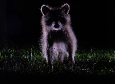 Got the Shot | Backlit Raccoon