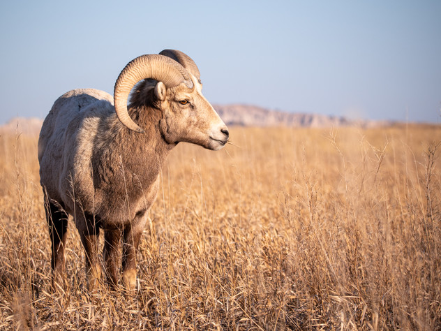 Badland Bighorn