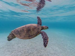 Turtle Swim