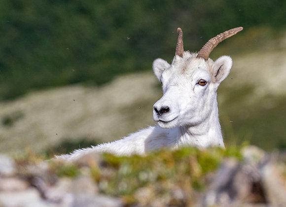 Dall Sheep Eyes