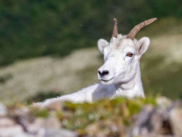 Dall Sheep Stare