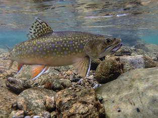 Underwater Brookie