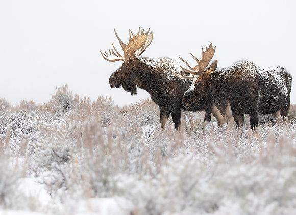 Snowy Bulls