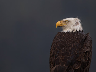 Rainy Eagle