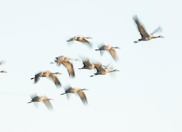 Sandhill Flight