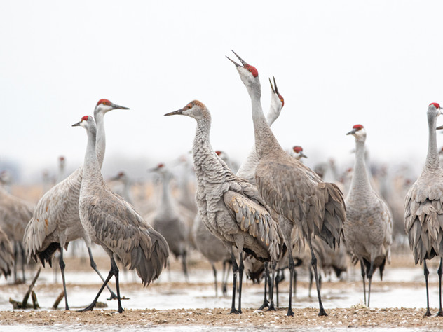 Call of the Cranes
