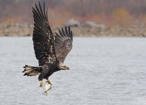 Eagle Snatch