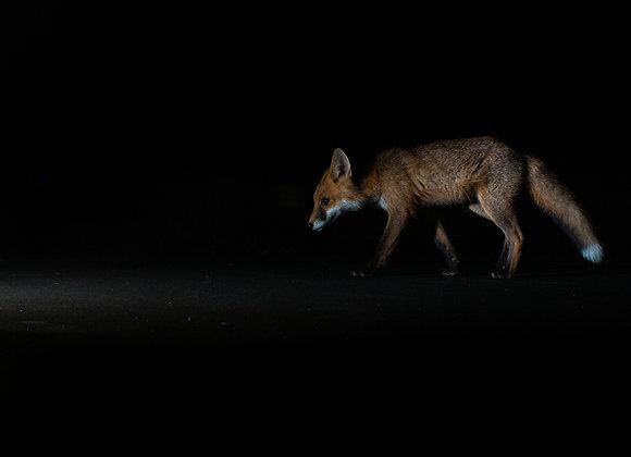 Fox Shadow