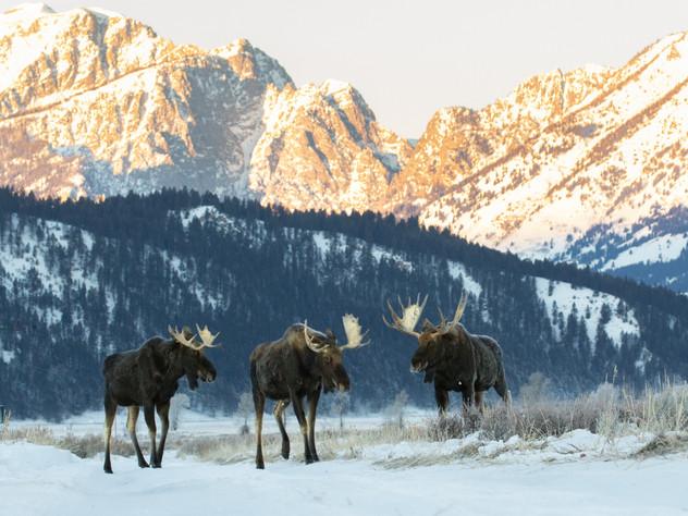 Moose Meeting