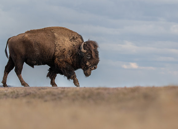Stormy Bison