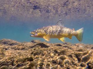 Dry Fly Brown Trout