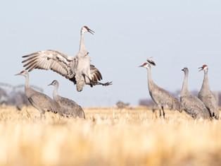 Dance of the Crane