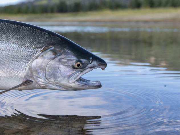 Silver Salmon Release