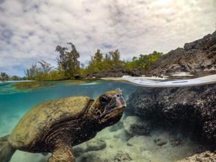 Big Island Turtle