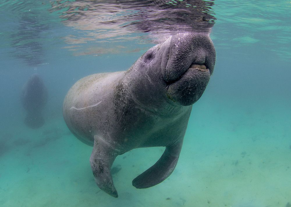 A Florida Manatee comes to the surface for a quick breath.