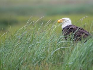 Eagle Amongst the Grass