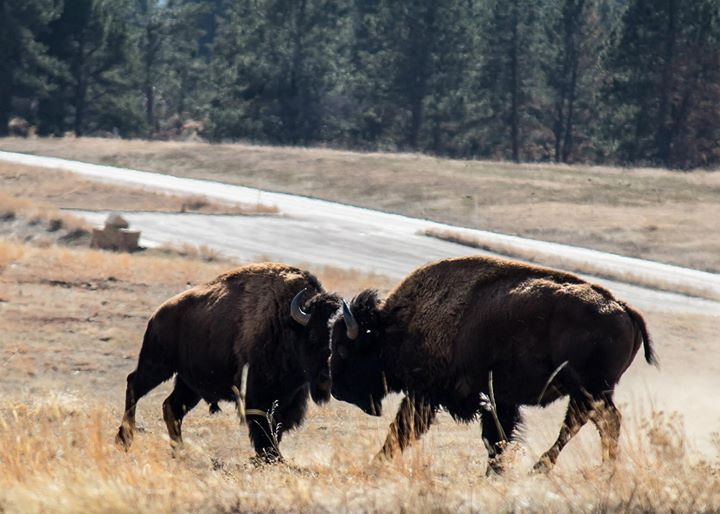 Facebook - Bison squaring off in Wind Cave National Park in the Black Hills of S