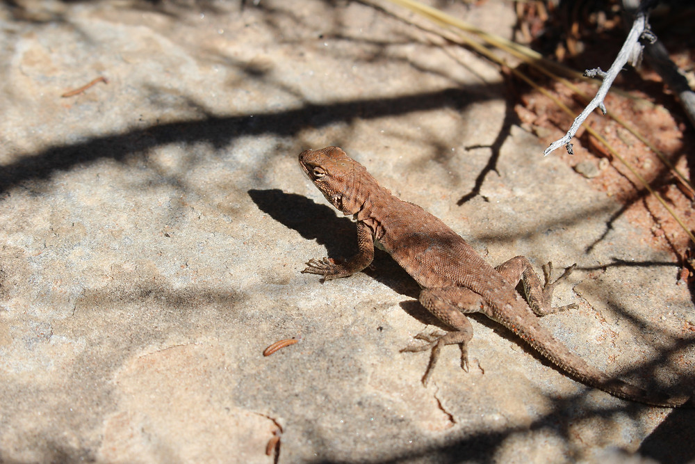 A brown lizard on a rock