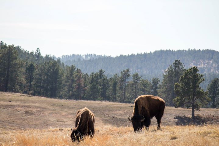 Facebook - Bison grazing while backpacking in Wind Cave National Park in the Bla