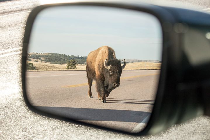 Facebook - Bison getting ready to lick my car at Wind Cave National Park with Ka