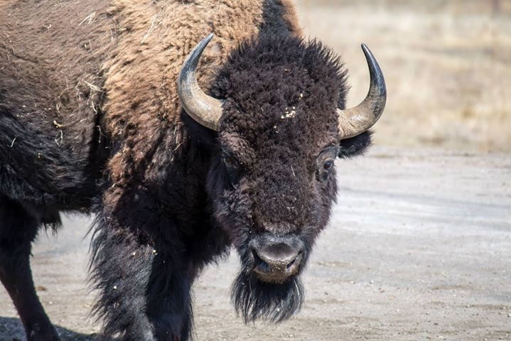 Facebook - A bison poses for the shot at Wind Cave National Park in the Black Hi