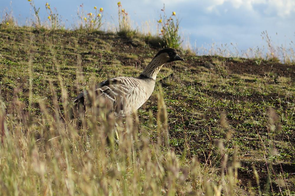 A nēnē, Hawaii's State Bird