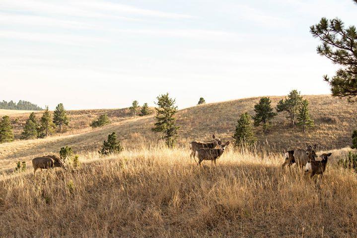 Facebook - Mule Deer in Wind Cave National Park in the Black Hills of South Dako