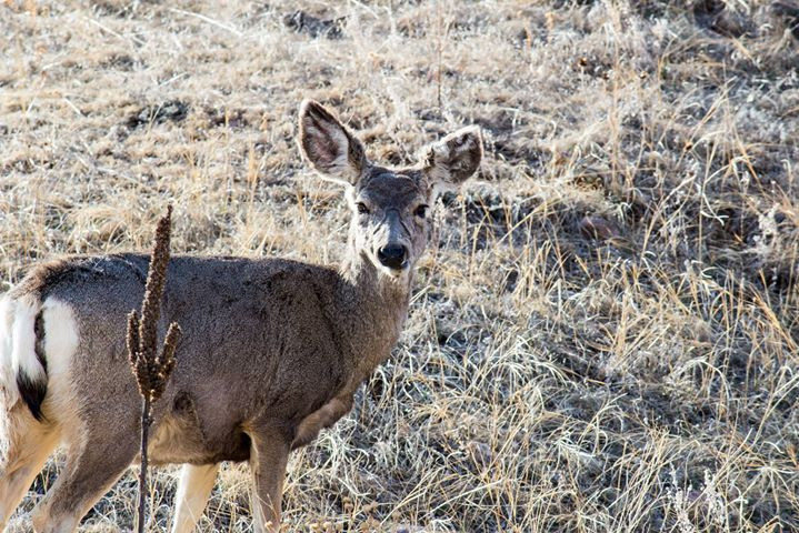 Facebook - A Mule Deer checks us out in Wind Cave National Park in the Black Hil