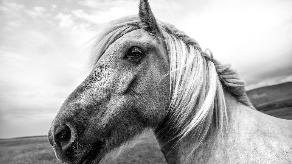"""Wild mare, Iceland (44""""x29"""")"""
