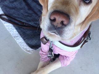 盲導犬を蹴る盲導犬ユーザー