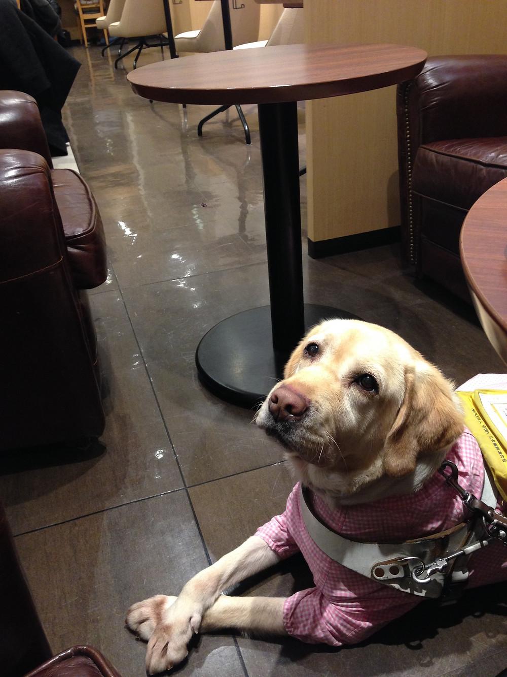 盲導犬スイフト:抜け毛でご迷惑とならないように盲導犬はお洋服を着ています。そしてユーザーさんの管理のもとお利口に待機できます。どうぞ温かく迎えてください。