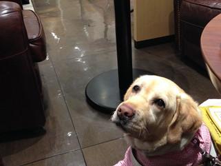 盲導犬スイフト@ドトールコーヒー久屋大通り店