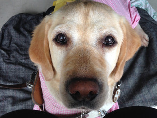 盲導犬スイフトが天国に旅立ちました。