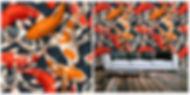 wallpaper containing exotic goldfish