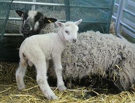 Shetland ewe and lamb