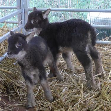 Twin Burrit lambs