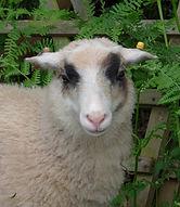 shetland sheep for sale
