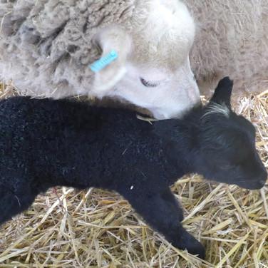 Jura and her single large lamb