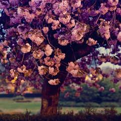 dawn blossom