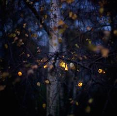 birch trees one