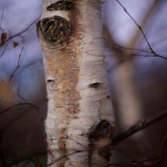 birch four