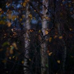 birch three