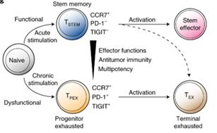 Células T tronco de memória: duas subpopulações com destinos distintos