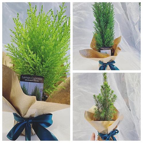 Mini Christmas Tree(Set of 3)