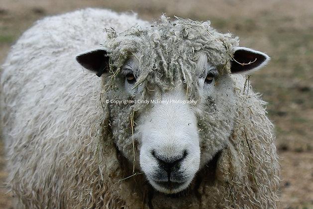 Colonial Williamsburg Sheep #1
