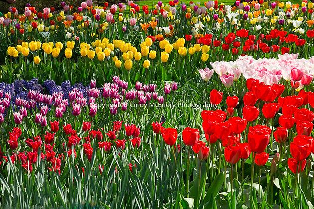 Tulips #6 | Holland