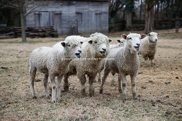 Colonial Williamsburg Sheep #2