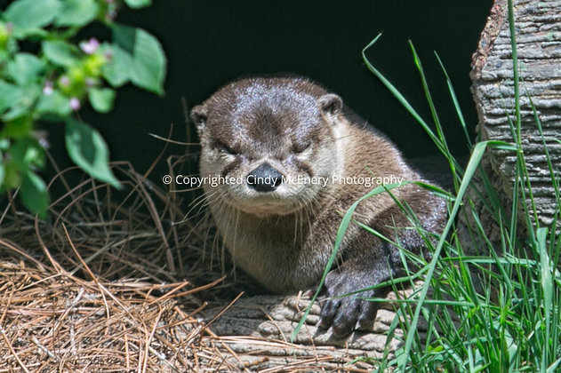 Grandfather Otter #4
