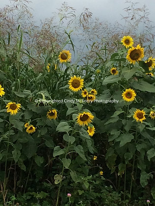 Mountain Sunflowers #3